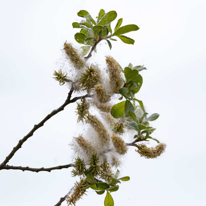 Photo of pussy willow catkins