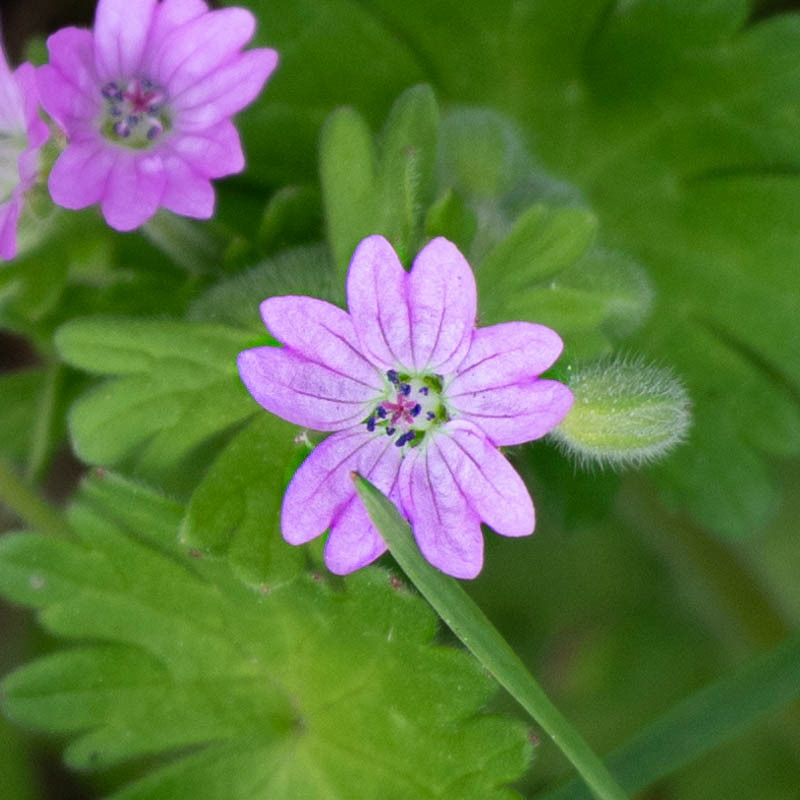 Photo of red campion flower