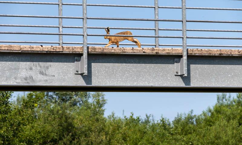 Photo of hare running over footbridge 1