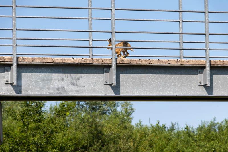 Photo of hare running over footbridge 2