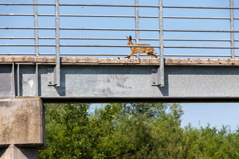 Photo of hare running over footbridge 3