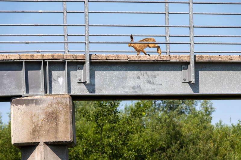 Photo of hare running over footbridge 4