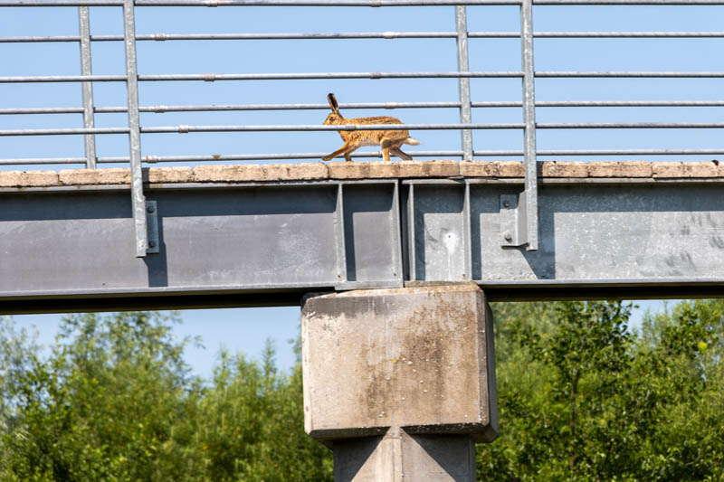 Photo of hare running over footbridge 5