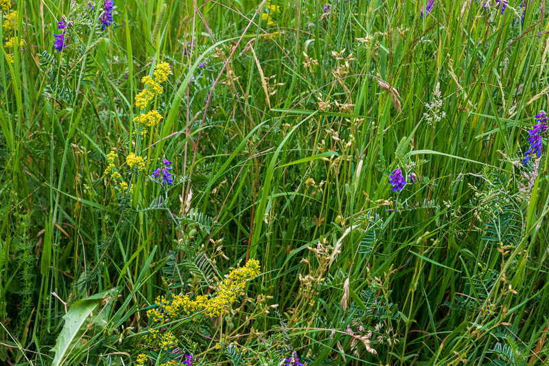 Photo of lady's bedstraw on a roadside verge