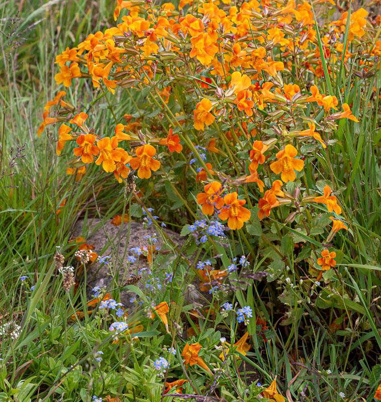 Photo of orange mimulus flowers