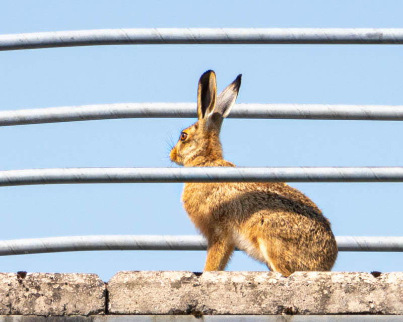 Photo of hare sitting on footbridge